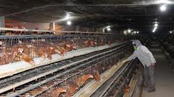 Mô hình chăn nuôi gà tự động của nông dân ngoại thành Hà Nội