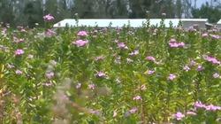 Độc đáo vườn cây dược liệu trăm hoa đua nở lớn nhất miền Trung