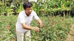 Mô hình làm giàu từ trồng hoa hồng Pháp kết hợp chăn nuôi của nông dân Thái Bình