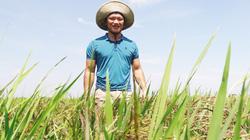 Rời ghế Phó chủ tịch, về quê… trồng lúa tím đặc sản