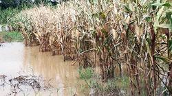 Cách phòng, chống ngập úng, bảo vệ cây trồng do mưa lớn