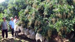 Gây dựng vùng chuyên canh cây ăn quả đặc sản