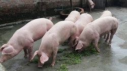 """Lợn ăn lá thuốc và """"tập thể dục"""", ít bệnh mau lớn"""