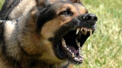 Ngăn chó béc giê cắn nhau, chủ nhà bị cắn đến chết