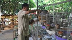 Luyện chim cu gáy cảnh, từ thảnh thơi nuôi chơi đến thu tiền thật