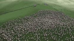 Choáng ngợp cảnh chú chó quản lý cả đàn cừu nghìn con