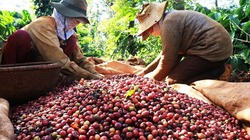Giá cà phê và giá tiêu ngày đầu tuần biến động nhẹ