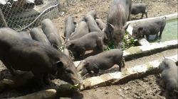 Lợn bản địa dễ nuôi, hiệu quả cao