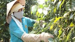 Chủ yếu xuất khẩu dạng thô, hồ tiêu Việt khó phát triển bền vững