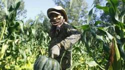 Tân Đức được mùa bí đỏ, trái to 4-5kg mà chỉ bán được 10.000 đồng