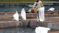 Doanh nghiệp rót hàng chục tỷ nuôi cá tầm, cá lăng trên hồ Hòa Bình