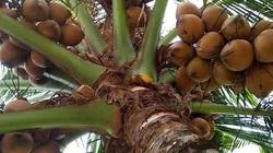 Giá hồ tiêu... rớt, nông dân Bình Phước chuyển đổi cây trồng mới