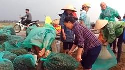 Hà Tĩnh: Nông dân đổ xô đi bắt ốc bươu vàng gom cho thương lái