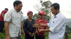 Quảng Nam: Cây dược liệu xóa đói nghèo cho đồng bào ở vùng biên
