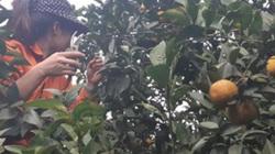 """Cung lớn, giá giảm, người trồng cam, bưởi nếm...""""trái đắng"""""""