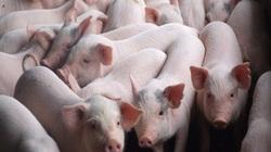 """Liệu thị trường thịt lợn tết có """"vỡ trận"""" như Trung Quốc?"""
