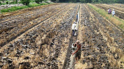 Chuyển đổi đất lúa kém hiệu quả trong năm 2019