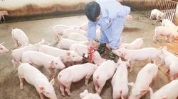 Trại chăn nuôi heo cần có điều kiện gì để đạt an toàn sinh học?