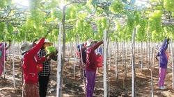 Khuyến nông Ninh Thuận phát triển diện tích cây ăn quả
