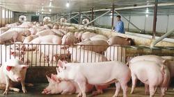 3 nguyên nhân chính làm bệnh dịch tả lợn châu Phi lây lan