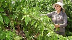 Khôi phục vị thế cây cà phê Tây Nguyên: Định hướng chuỗi sản xuất giá trị gia tăng