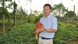 Đầu tư hàng tỷ đồng nuôi gà ri theo hướng hữu cơ