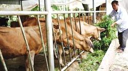 Tiếp vốn trồng rau, nuôi bò, nông dân thu nhập tăng 3 lần