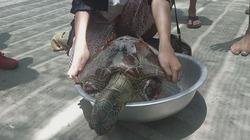 Phát hiện xác rùa biển quý hiếm bị cắt cụt 2 chi trước bốc mùi ở bãi biển Ninh Thuận