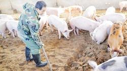 """Những trại lợn sinh học an toàn trong """"bão dịch"""", thu lãi cao"""