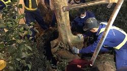 Hà Nội nhổ bỏ, thay thế hàng trăm cây phượng trong đêm