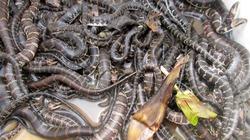 Làm giàu từ nuôi rắn ri
