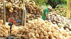 Đưa trái dừa trở thành cây trồng chủ lực vùng Nam Trung bộ