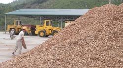 Tăng thuế xuất khẩu dăm gỗ: Rủi ro cho doanh nghiệp và người trồng rừng