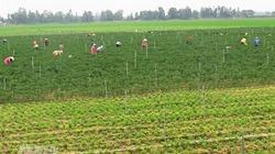 ĐBSCL: Giảm lúa, tăng rau màu, thủy sản
