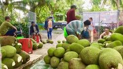 Thương lái miền Tây lùng mua mít Thái, giá vọt lên 52.000 đồng/kg