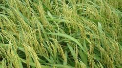 Bắt tay doanh nghiệp trồng lúa chất lượng cao, không lo rớt giá
