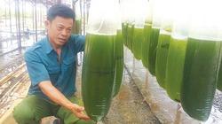 """Chuyện lạ ở Thái Bình: Nuôi thứ nước xanh lè mà """"rót"""" ra hàng tỷ đồng"""