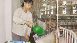 Tái đàn lợn sau dịch: Đừng nôn nóng