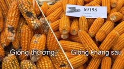 Giống ngô kháng sâu keo mùa thu của thế giới đã có ở Việt Nam