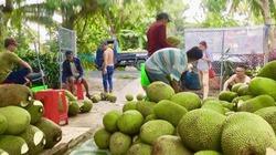 Mít Thái bất ngờ tăng giá lên 52.000 đồng/kg: Thương lái đổ xô về vườn tranh mua