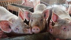 Giá heo hơi hôm nay 2/8: Thương lái săn lợn xuất Trung Quốc