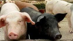 Lạ kỳ trang trại nuôi 1.000 con lợn không thấy chất thải