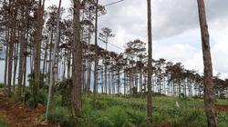 Bắt tạm giữ 6 người đầu độc hơn 300 cây thông ở Lâm Đồng