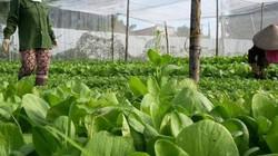 Thiếu thị trường, nông dân không mặn mà với sản xuất hữu cơ
