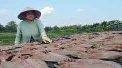 Xẻ thịt cá lóc làm đặc sản khô bán Tết, lên máy bay xuất ngoại