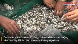 Clip: Đã mắt xem nông dân tỉnh Đồng Tháp kéo lưới mùa lũ, cá linh đặc sản nhảy lao xao, tươi roi rói