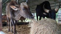Đàn bò tót gầy trơ xương ở Phước Bình, Giám đốc Sở NNPTNT Ninh Thuận nói gì?