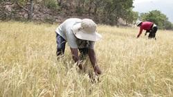 Trên 16.000 ha đất nông nghiệp tại Ninh Thuận phải tạm dừng sản xuất