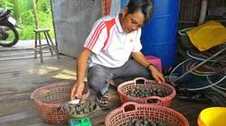 Cà Mau: Thả ốc hương đặc sản vào vuông nuôi tôm sú, sau 8 tháng nông dân bất ngờ vì 1 vốn 4 lời