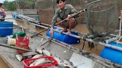 Quảng Bình: Khổ, nông dân bất lực nhìn hàng chục tấn cá lồng chết dần sau mưa lũ